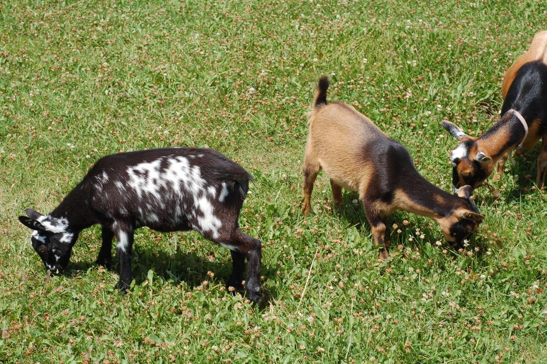neverest minis u0026 dwarf goats